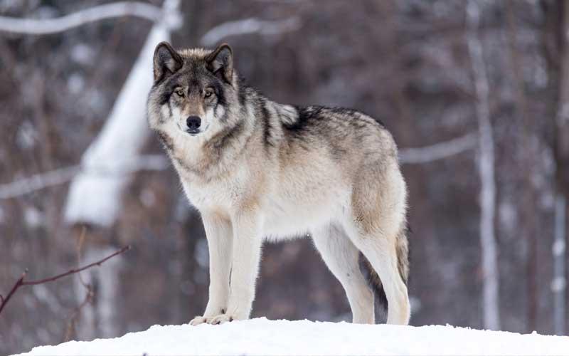 hunting-bucket-wolf