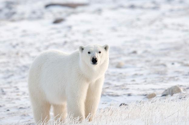 polar_bears_1